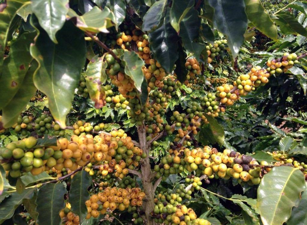 Ripe yellow catuai on Fazenda Santo Agostinho