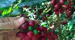 The Farm Where You Can Adopt a Coffee Tree