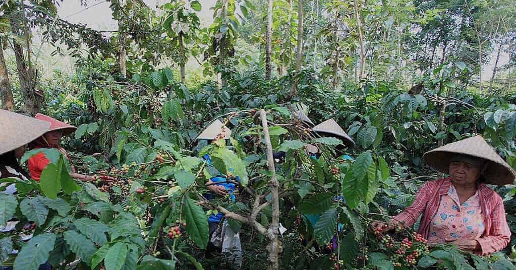 Indonesian women picking cherries