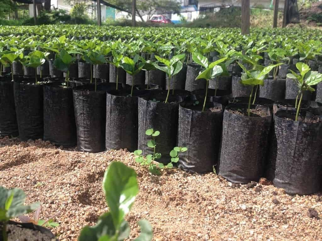 Coffee seedligns