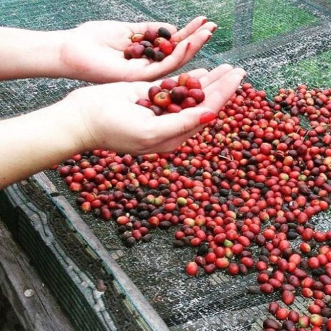 Panamian coffee cherries
