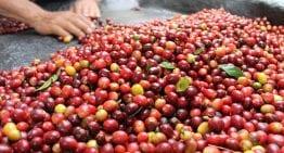 Especies de Plantas de Café: Arábica vs Robusta de Especialidad