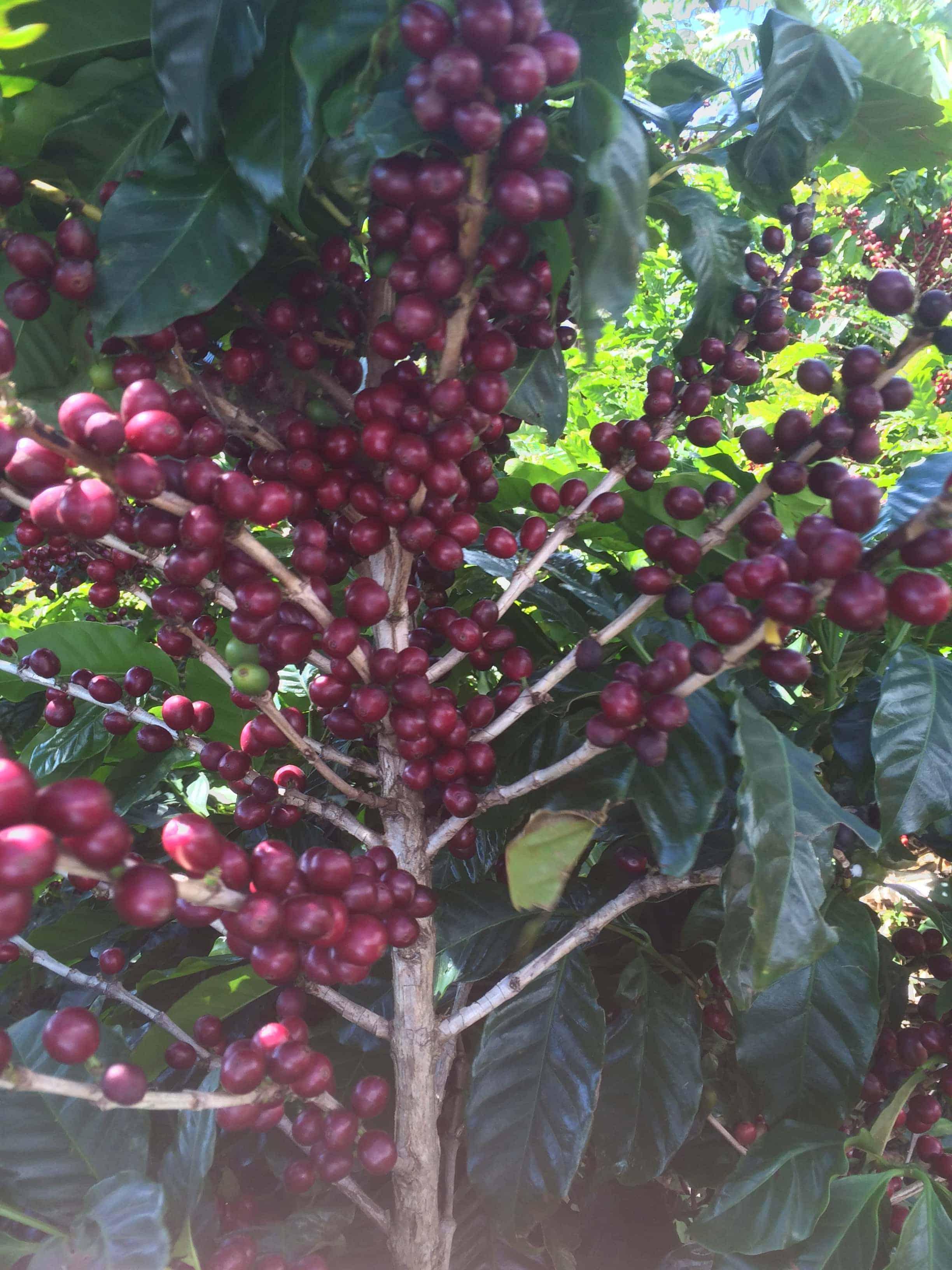 cafe borbon