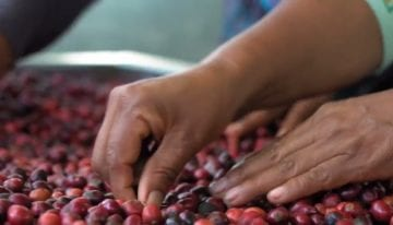 VIDEO: Growing High-Quality Robusta Supports Farmers in Ecuador
