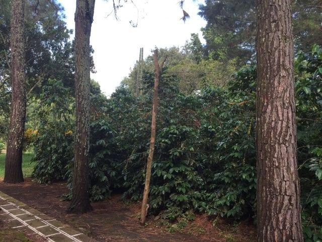 Café Pacas garden