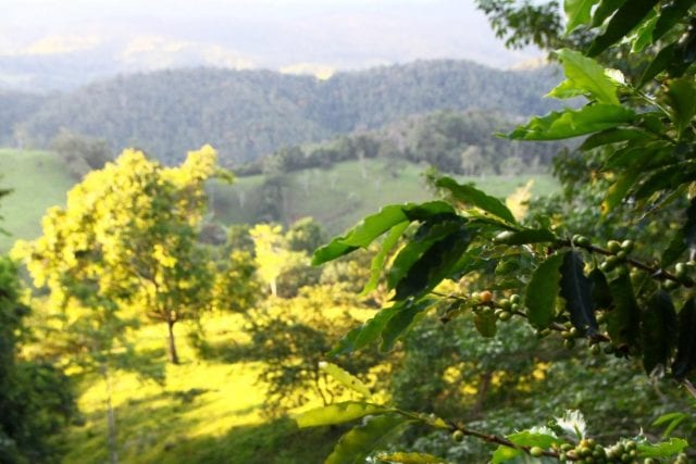 Coffee growing in Colombia.