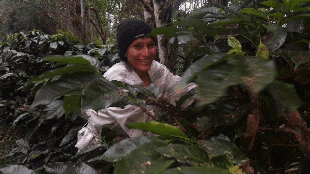 Coffee farming in the forest.