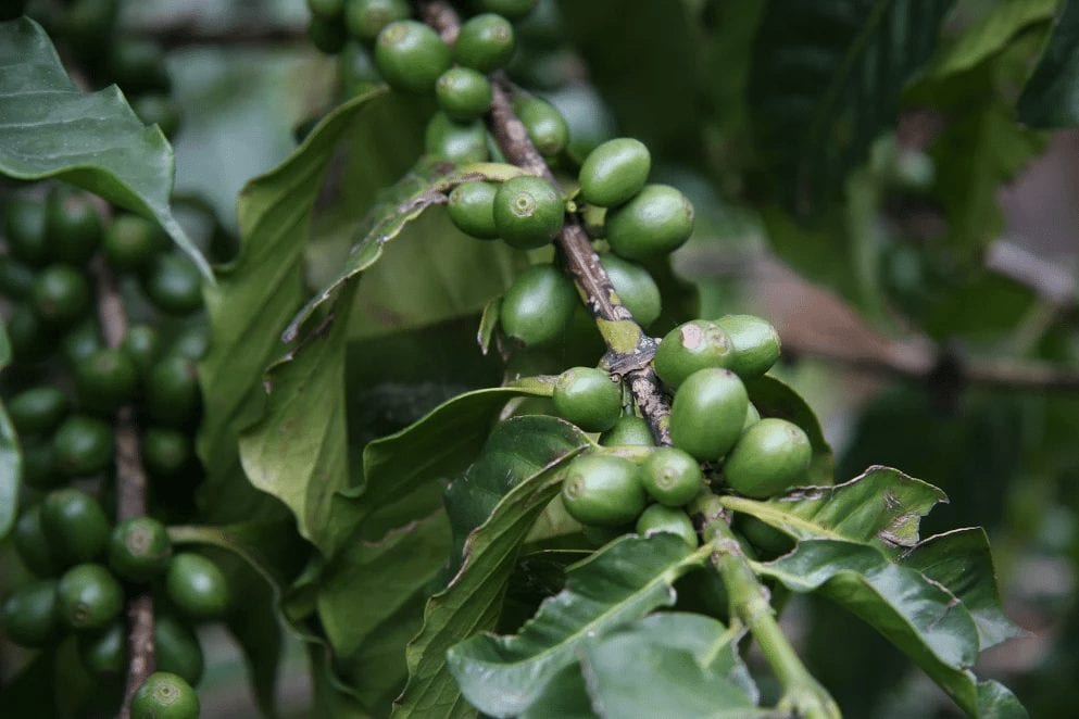 Coffee Farming: Will Shade Trees Reduce The Effects of Climate Change?