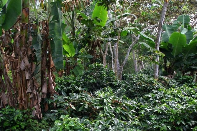Coffee grows in the forest near Yalí