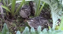 Income Diversification: A VIDEO Guide to Raising Quails