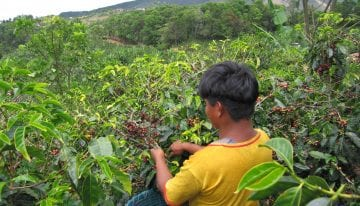 VIDEO: How Are Coffee Pickers Paid?