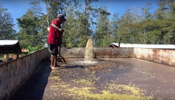 VIDEO: Watch Coffee Processing in Papua New Guinea's Mills