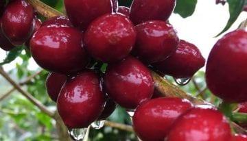 Maracaturra: Why a CoE-Winning Farm Grows Hybrid Varietals