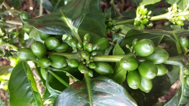 Green Maracaturra