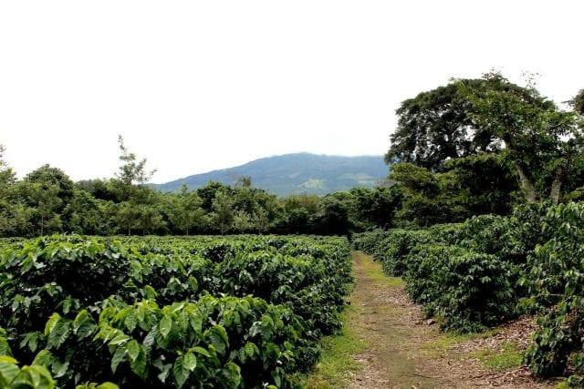 growing coffee trees