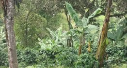 A VIDEO Guide to Intercropping for Coffee Farmers