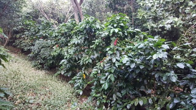 coffee growing in rows