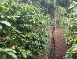 Why Plant Coffee in Rows?
