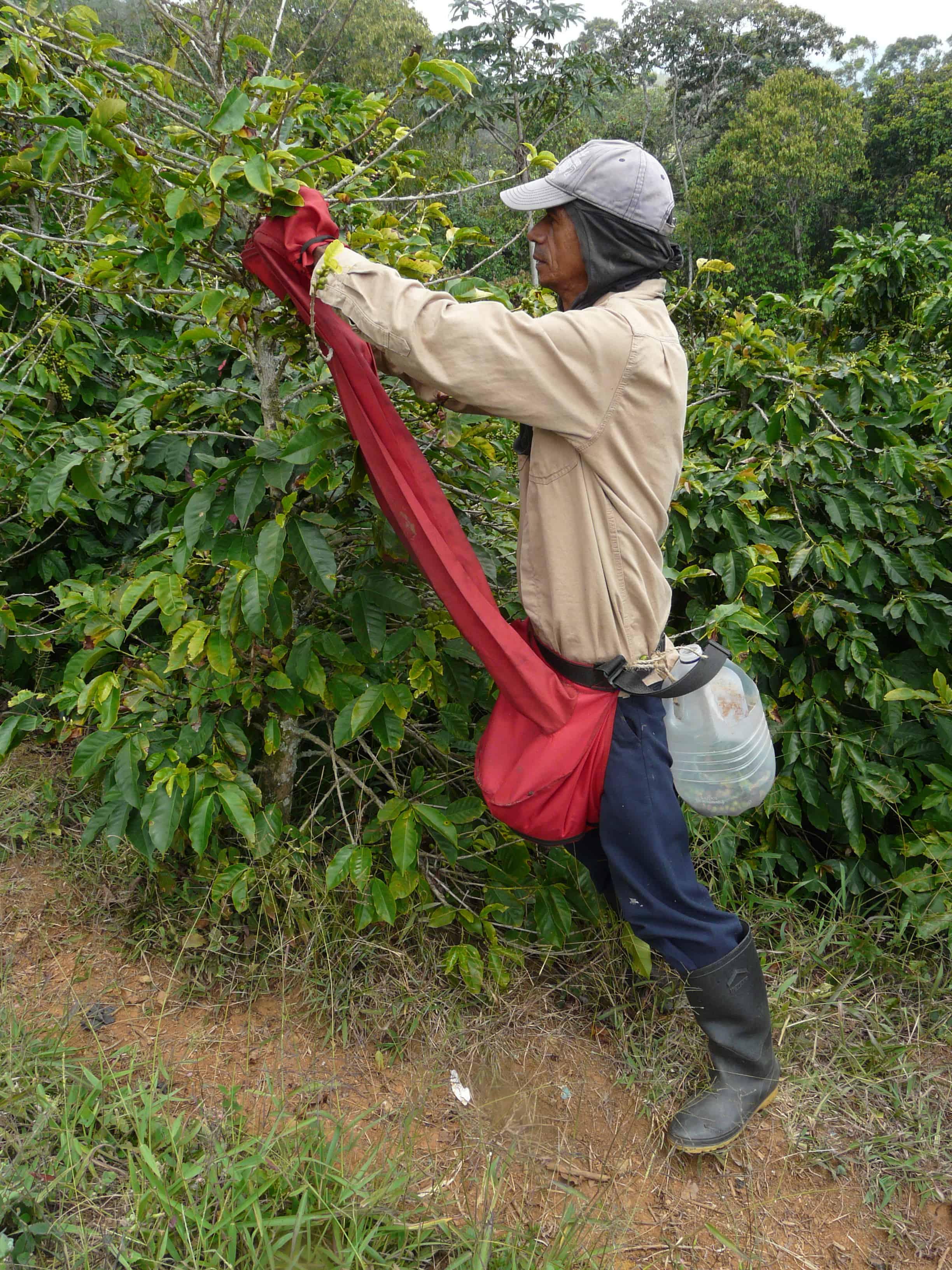 recogiendo cafe