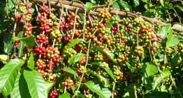 Coffee 101: A VIDEO Guide to Arabica & Robusta