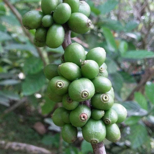 barako coffee plante