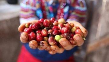Cómo los Ixil Guatemaltecos Están Combatiendo La Roya de Forma Orgánica
