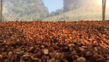 Yellow, Red, & Black Honey Processed Coffees: What's The Difference?