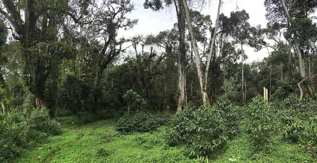 finca de cafe en Etiopia