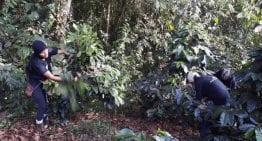 ¿Pueden las Fincas de Café Contribuir a la Reforestación en Ecuador?