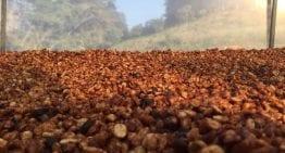 """Cafés de Proceso """"Honey"""" Amarillo, Rojo y Negro: ¿Cuál es La Diferencia?"""