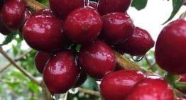 Maracaturra: Por qué una Finca Ganadora de la Taza de la Excelencia, Cultiva Variedades Híbridas