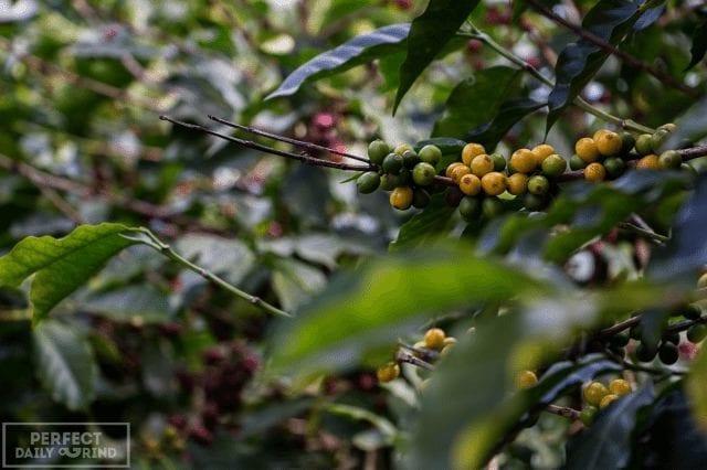 maduracion de las cerezas del cafe