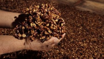 VIDEO: What Is Honey Processed Coffee & How Is It Produced?