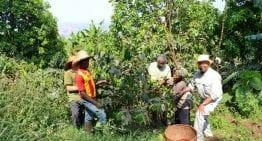 Lavado vs Honey: Procesamiento del Café de Especialidad en Camerún