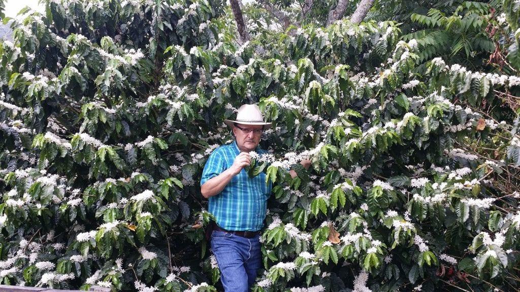 Flowering Centroamericano coffee trees