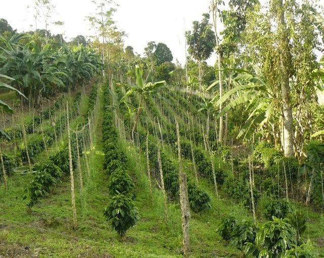 cultivo de cafe en filas