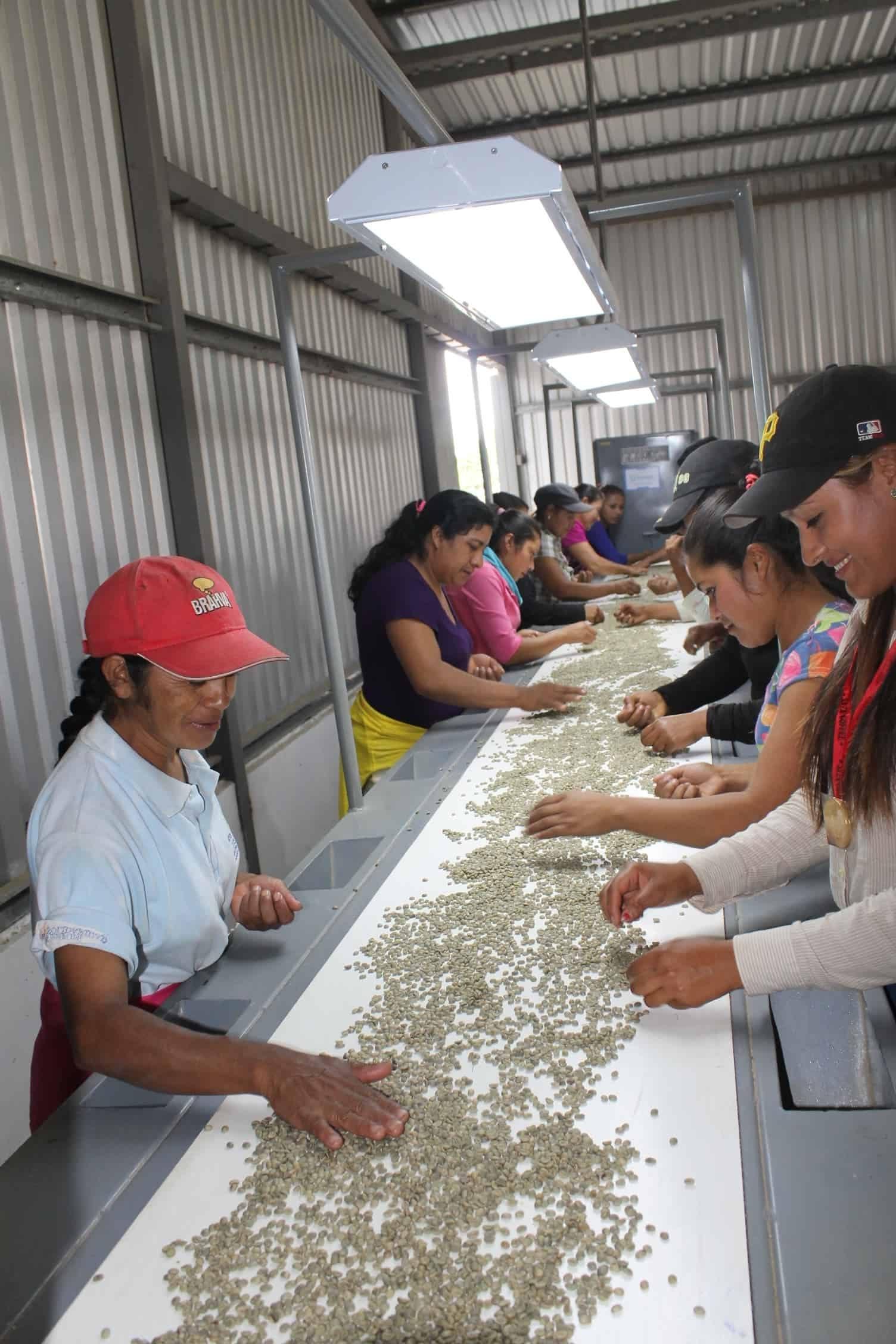 mujeres seleccionando cafe a mano