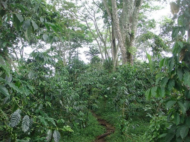 Mexican coffee farm