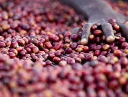 Ethiopian Gesha Sold for Record-Breaking US $85/lb