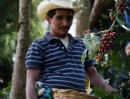 Coffee Cherries Go Unpicked: What's The Solution?