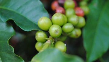 Coffee Varieties: What Are F1 Hybrids & Why Are They Good News?