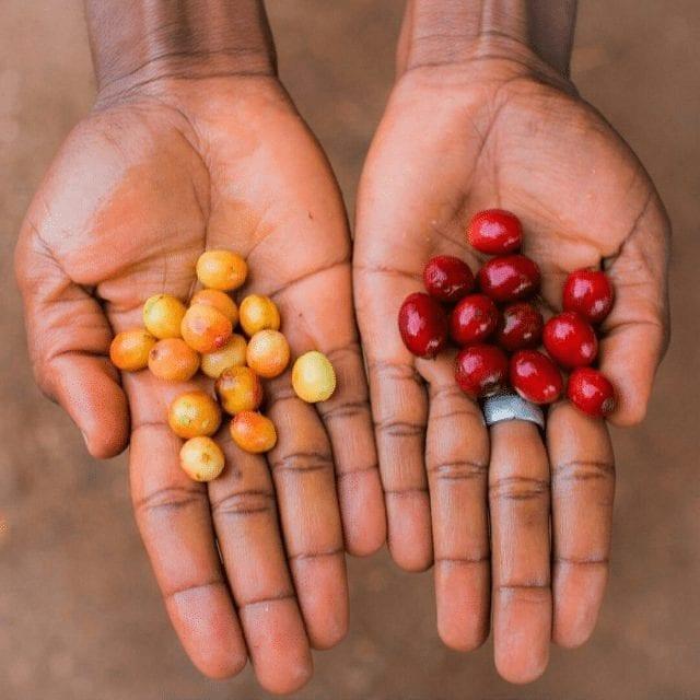 cerezas de cafe de burundi