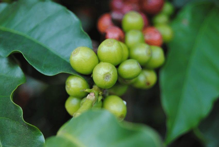 cerezas de cafe en maduracion