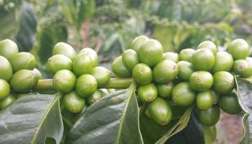 Coffee Varieties: Debunking The Myths Around Castillo