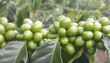 Variedades de Café: Desmintiendo Mitos Alrededor de la Variedad Castillo
