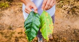 How Is Honduras Responding to Recent Coffee Leaf Rust Outbreak?