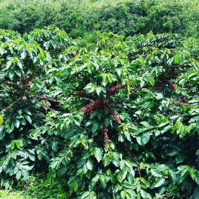 planta de cafe en crecimiento