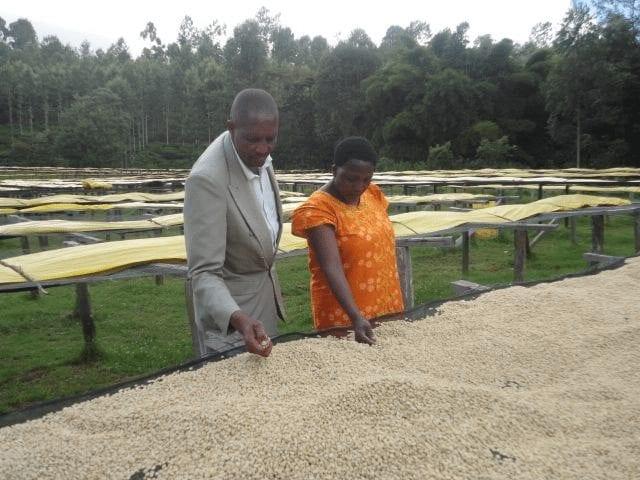 productores revisando granos de cafe