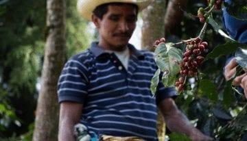 Cerezas de Café sin  Recolectar: ¿Cuál es la Solución?