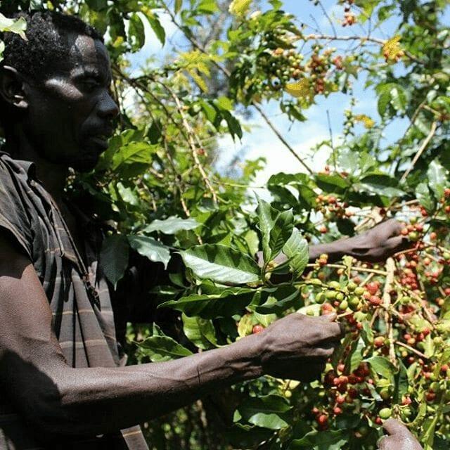 recolector de cafe en burundi